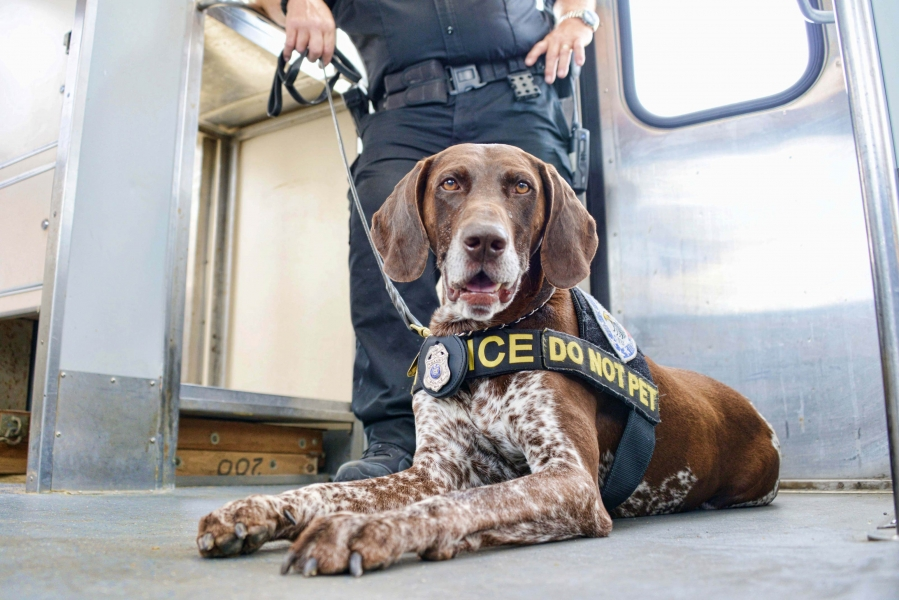 King, a German Short Hair Pointer trained by the TSA, is now with the Niagara Frontier Transportation Authority.  He joined the convention security team with his handler, Ofc. Dave Capretto.