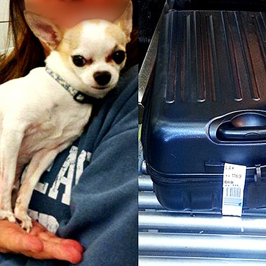Discovered a Chihuahua inside a checked baggage