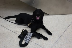 Passenger Screening Canine Bela