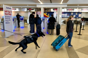 TSA passenger screening canine Bak, alerts on a roller bag being pulled by a woman serving as a decoy during a training session at Philadelphia International Airport. (TSA photo)